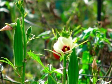 Вирощування бамії з насіння: правила посадки та догляд за рослиною