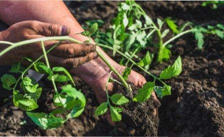 Як посадити розсаду помідорів яка переросла ? Поради досвідчених городників