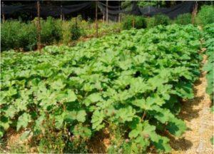 Вирощування бамії з насіння