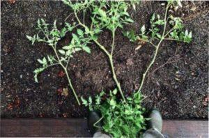 Підготовка посадки росзади помідорів яка переросла