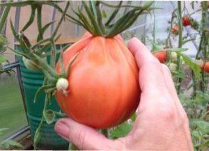 Характеристика помідорів сорту Пузата Хата