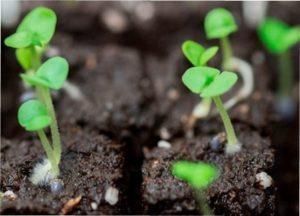 Вибір ємності для вирощування розсади бамія в торфяних горшках