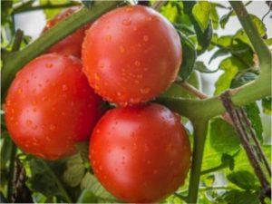 Вирощування томата «Катя»