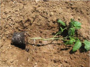 Як правильно висаджувати розсаду помідорів яка переросла у відкритий грунт