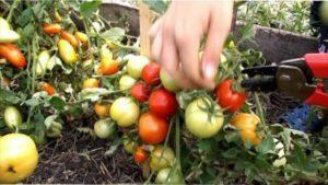 Пасинкування Вирощування томата «Катя»