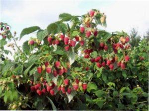 Один з сортів малинового дерева при вирощуванні в Україні