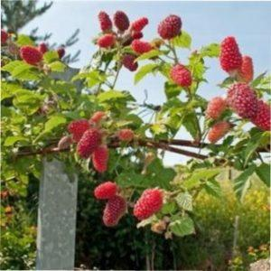 Відгуки садівників малинового дерева на дачах України