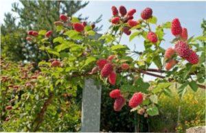Здоровань - сорт малинового дерева