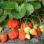 Правила і технологія посадки полуниці саджанцями і вусами навесні