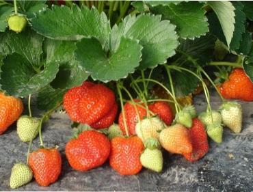 Посадка полуниці саджанцями і вусами навесні - коли і як правильно садити полуницю весною