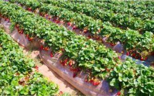 Місце для посадки розсади полуниці і суниці навесні