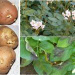 20 хвороб картоплі та ефективні заходи боротьби з ними
