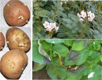Грибкові і бактеріальні хвороби картоплі - лікування та профілактика картоплі від шкідників та хвороб
