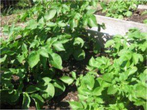 Характеристика картоплі сорту Журавинка