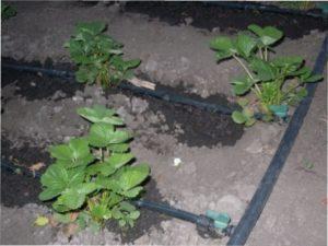 Грунт для посадки полуниці: як правильно підготувати землю навесні