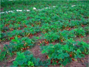 Підготовка ґрунту і грядки для посадки полуниці ранньою весною: які добрива вносити