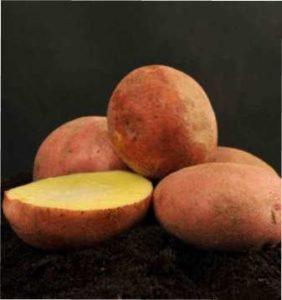Характеристика коренеплодів