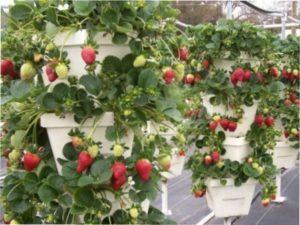 Схема посадки полуниці навесні у відкритому грунтіСхема посадки полуниці навесні у відкритому грунті