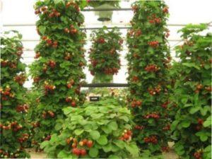 Способи і варіанти посадки полуниці в грядки (з фото)