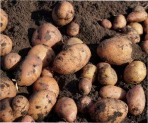 Як отримати гарний врожай картоплі.