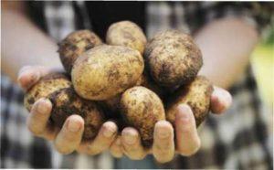 Картопляний кущ фото з відгуками
