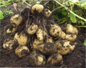 Врожай картоплі фото