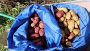 Картопля в мішках