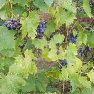 Виноград Мускат блау : вирощуванні і догляд