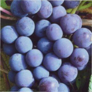 Опис сорту винограду Мускат Блау