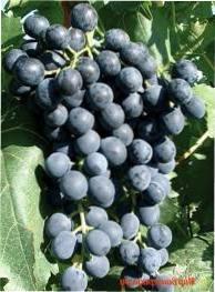 Особливості вирощування винограду Мускат Блау