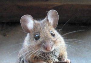 Як позбутися мишей на дачі назавжди: основні методи