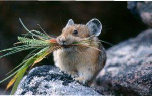 Як вивести мишей народними засобами