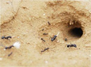 Рецепти борної кислоти від мурах