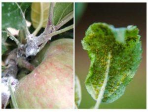 Шкідливий вплив попелиці на плодові дерева