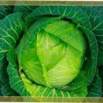 Секрети успішного вирощування врожайного гібрида капусти Мегатон f1