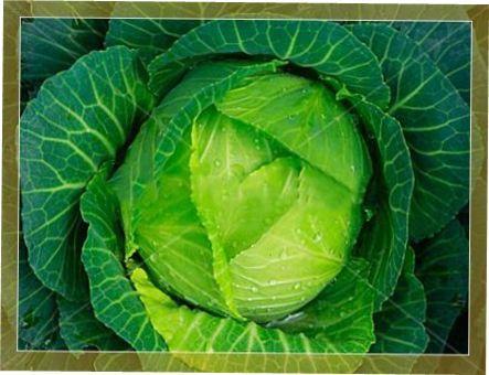 Капуста білокачанна Мегатон f1: опис сорту, агротехніка вирощування, догляд та захист від хвороб і шкідників