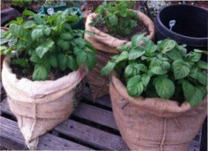 Агротехніка вирощування картоплі в мішку