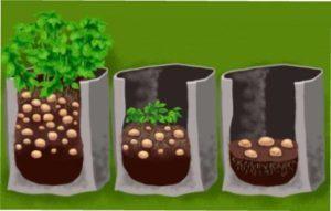 Схема посадки картоплі в мішках