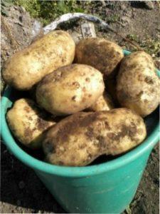 Вирощування картоплі в мішку