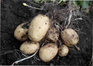 Як правильно виростити картоплю в мішках