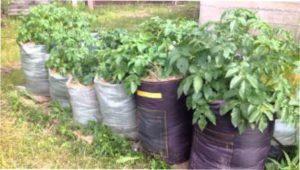 Картопля в мішках врожай фото