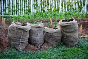 Опис методу посадки картоплі в мішках