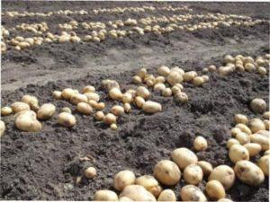 Картоплі в грунті