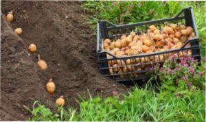 врожа картопляного насіння
