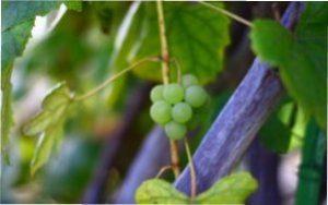 Як обрізати молодий кущ винограду самостійно і правильно