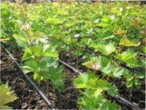 Секрети при вирощуванні винограду навесні