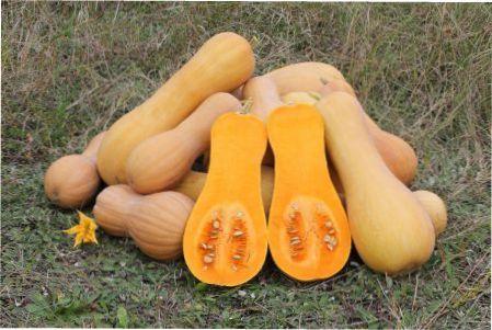 Мускатний гарбуз: рекомендації профі,особливості посадки і вирощування