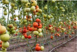 Догляд за томатами черрі