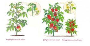 Характеристика і користь томатів чері