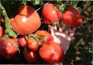 Плоди томату Чудо землі